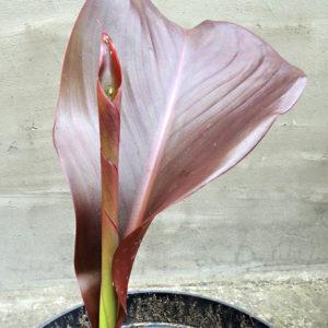 160613-canna-lily